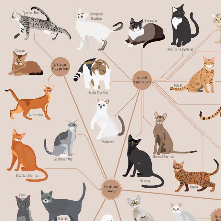 Cats Categorized Tutte Le Razze Dei Gatti In Un Poster Foto
